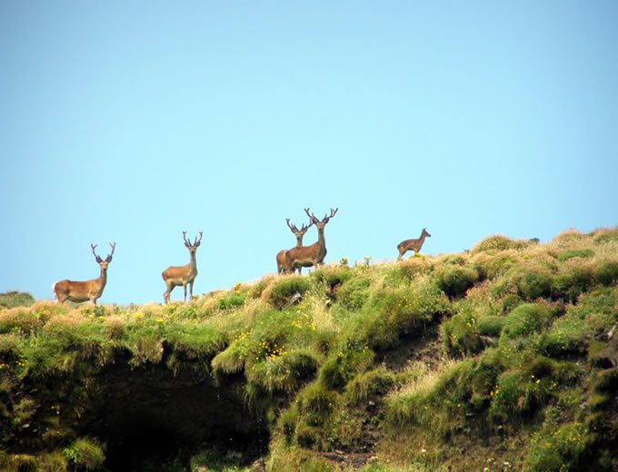 deer on the inis