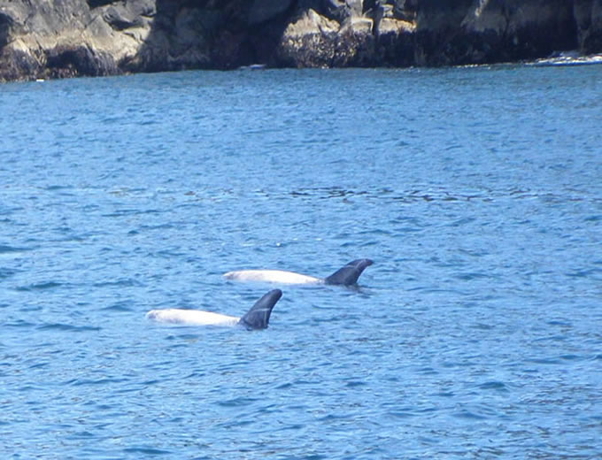 rissos dolphins at great blasket island