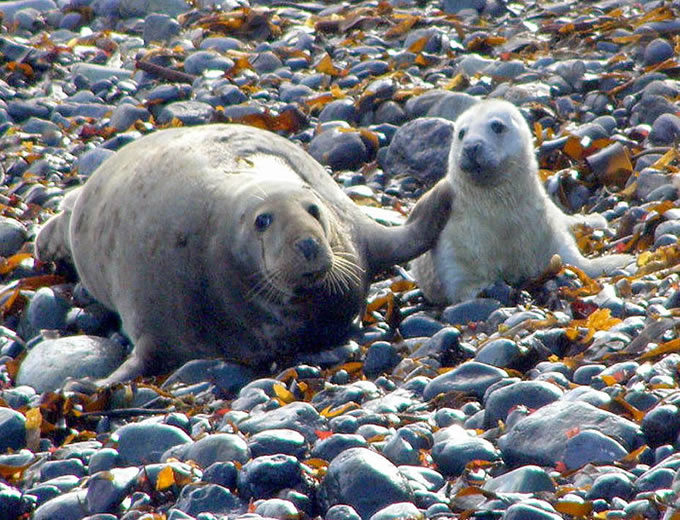 seal mother and pup