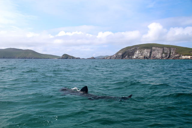 basking shark at blasket island ireland