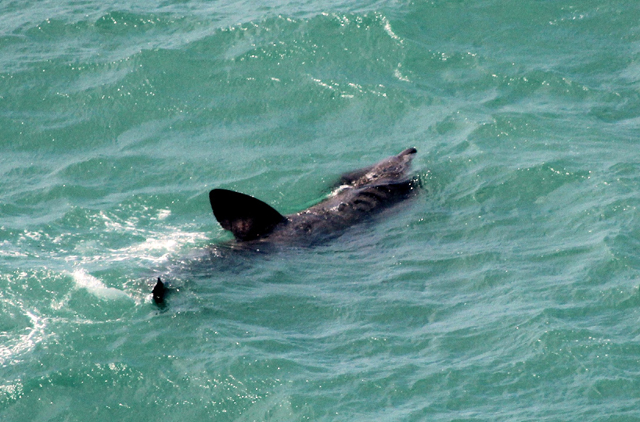 basking shark from Slea Head