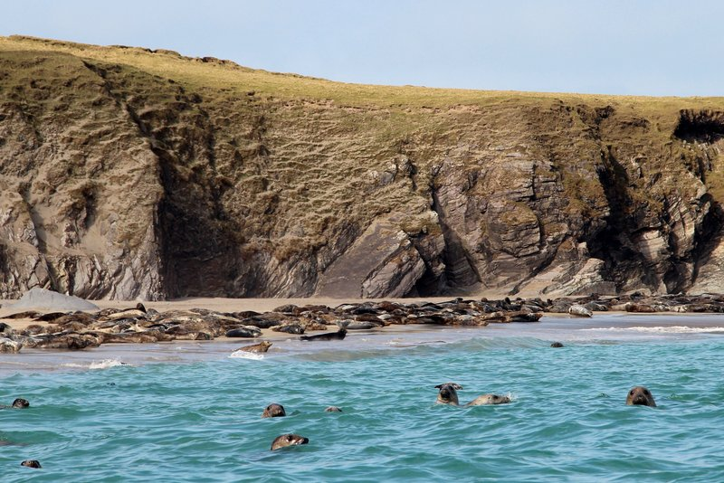 Grey seals on Great Blasket Island