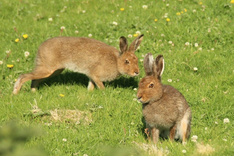 hares on Great Blasket Island