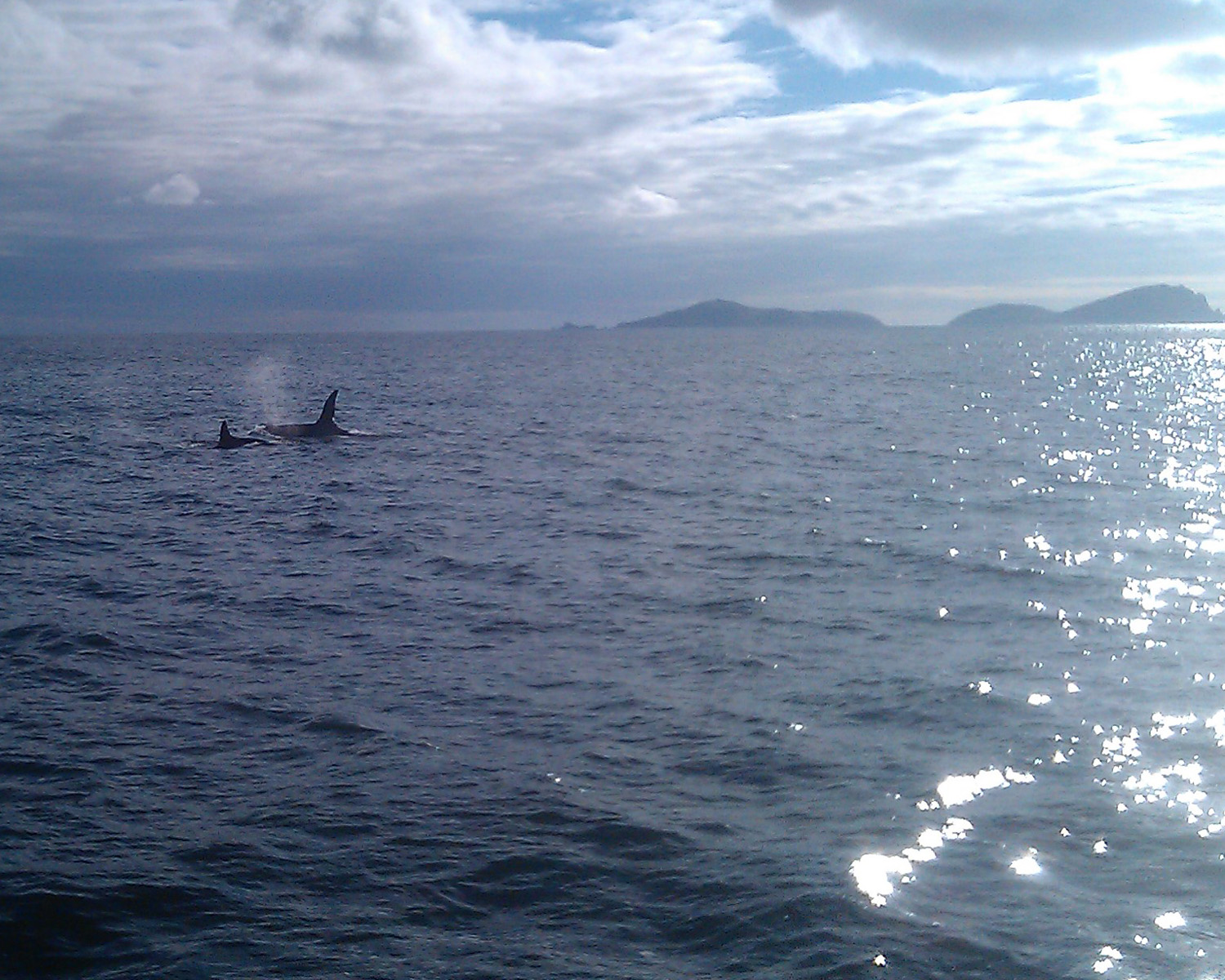 Two orca off Blasket Islands